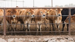 5-10-18-bigstock-Cattle-Chewing-Gnawing-Metal-F-116965292